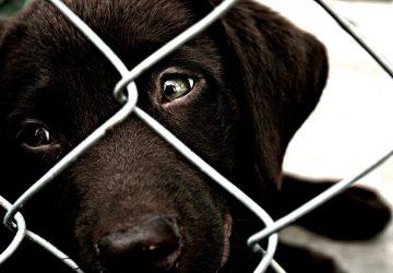 444b71cdc7ef Adopt not Shop  Τι λένε έρευνες για την υγεία των ζώων σε εκτροφεία και  puppy mills